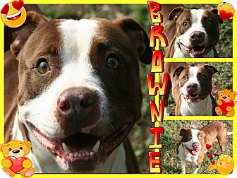 Staffordshire Bull Terrier Mix Dog for adoption in Tampa, Florida - Brownie