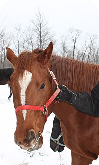 Thoroughbred Mix for adoption in Seville, Ohio - Gina