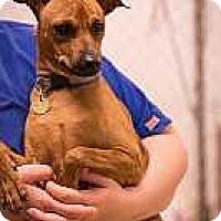 Adopt A Pet :: Bear - Syracuse, NY