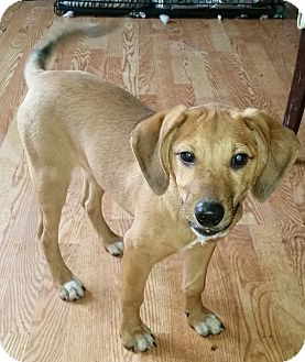Shepherd (Unknown Type)/Hound (Unknown Type) Mix Dog for adoption in Detroit, Michigan - Garbo