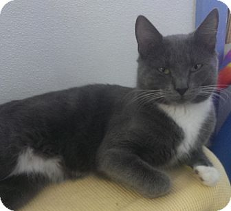 Domestic Shorthair Cat for adoption in Springfield, Vermont - Hitch