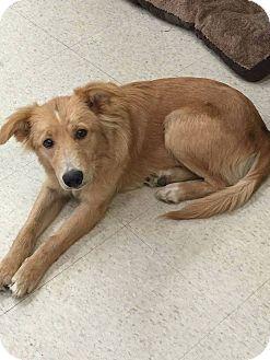 Golden Retriever Mix Dog for adoption in Naugatuck, Connecticut - Archer