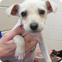 Adopt A Pet :: Vanilla Bean - Millersville, MD