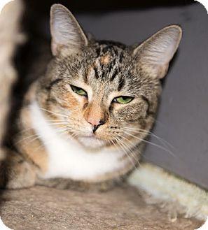 Calico Cat for adoption in Charlotte, North Carolina - A..  Hannah