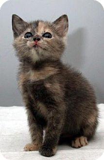 Domestic Mediumhair Kitten for adoption in Fayetteville, Georgia - Lauren