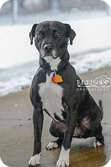 Labrador Retriever/Pit Bull Terrier Mix Dog for adoption in Mansfield, Ohio - Mya