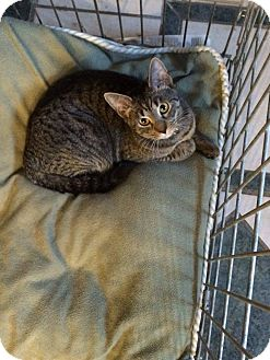 Domestic Shorthair Cat for adoption in Broadway, New Jersey - Sarabi - FELV+