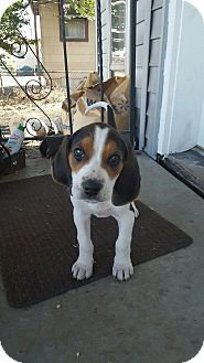 Treeing Walker Coonhound Puppy for adoption in Maryville, Illinois - Argos