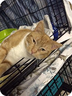 Domestic Shorthair Cat for adoption in Byron Center, Michigan - Sherman