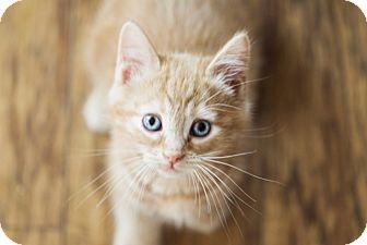Domestic Shorthair Kitten for adoption in Cincinnati, Ohio - Milo