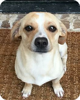 Terrier (Unknown Type, Small)/Chihuahua Mix Dog for adoption in McKinney, Texas - Patrick