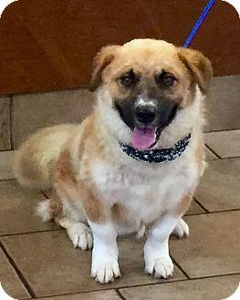 Golden Retriever/Corgi Mix Dog for adoption in Oswego, Illinois - I'M ADOPTED Channing Schiro