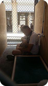 Labrador Retriever/Black Mouth Cur Mix Dog for adoption in Jacksonville, Florida - Sadie Pup
