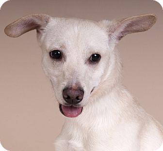 Labrador Retriever/Beagle Mix Dog for adoption in Chicago, Illinois - Charlie
