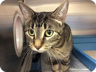 Domestic Shorthair Cat for adoption in Janesville, Wisconsin - Fish Mooney
