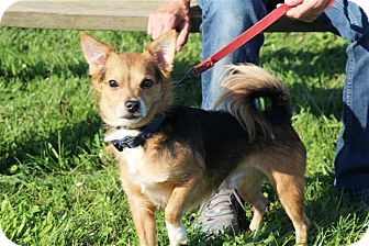 Chihuahua/Yorkie, Yorkshire Terrier Mix Dog for adoption in Elyria, Ohio - Tito