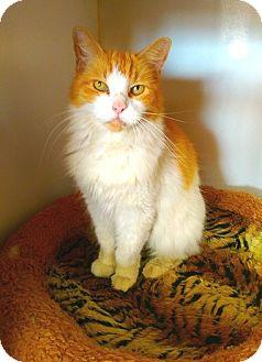 Domestic Mediumhair Cat for adoption in Seminole, Florida - Marmalade