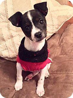 Rat Terrier/Feist Mix Puppy for adoption in Charlotte, North Carolina - Fenway