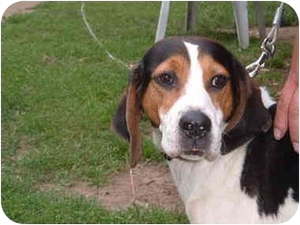 Foxhound/Beagle Mix Dog for adoption in Frankfort, Illinois - Muffin