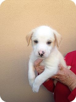 Australian Shepherd/Australian Cattle Dog Mix Puppy for adoption in Cave Creek, Arizona - Chilly