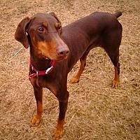 Adopt A Pet :: Ginger - Palmyra, NE