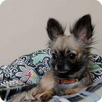 Chihuahua Dog for adoption in Wyoming, Michigan - Fifi