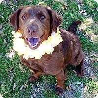 Adopt A Pet :: Callie - Vernon, TX