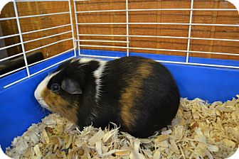 Guinea Pig for adoption in Broadway, New Jersey - Charlie