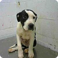 American Pit Bull Terrier Mix Puppy for adoption in Atlanta, Georgia - HURRICANE