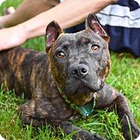 Adopt A Pet :: Markie - Reisterstown, MD