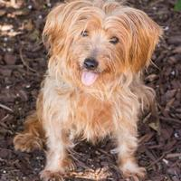Yorkie, Yorkshire Terrier Mix Dog for adoption in Alpharetta, Georgia - Lily