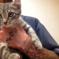 Domestic Shorthair Cat for adoption in New Port Richey, Florida - Harley