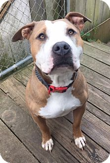 American Staffordshire Terrier Mix Dog for adoption in Auburn, California - Starla