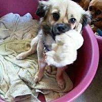 Pekingese/Pug Mix Dog for adoption in La Puente, California - Brownie Fudge