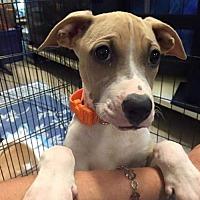 Adopt A Pet :: Dolly - Surprise, AZ
