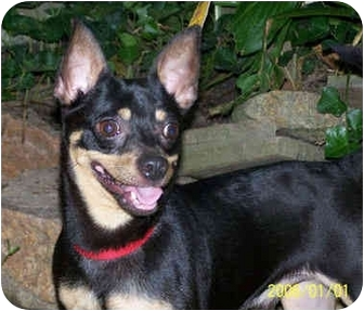 Chihuahua Dog for adoption in Baltimore, Maryland - Tyson