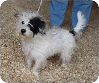 Maltese/Poodle (Miniature) Mix Dog for adoption in Fairmount, Georgia - Ken