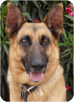 German Shepherd Dog Dog for adoption in Los Angeles, California - Rocky von Lancaster