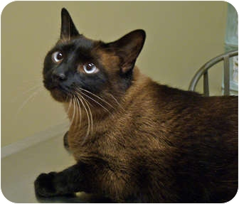 Siamese Cat for adoption in Chicago, Illinois - Dusty