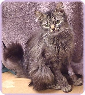 Persian Cat for adoption in Brookville, Indiana - Maybelline