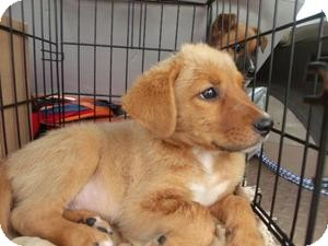 Retriever (Unknown Type) Mix Puppy for adoption in Rocky Mount, North Carolina - Amerson