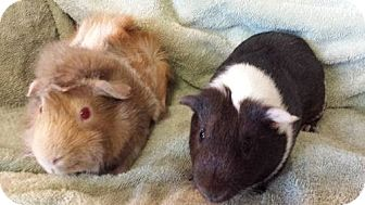 Guinea Pig for adoption in Fullerton, California - Juniper and Rufino