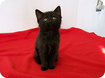 Domestic Shorthair Kitten for adoption in China, Michigan - Clint Black