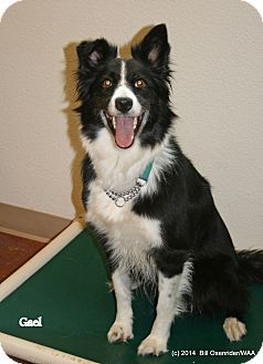 Border Collie Dog for adoption in Patterson, California - Gael