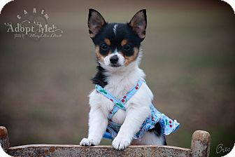Jack Russell Terrier/Pomeranian Mix Puppy for adoption in Wilmington, Delaware - Oreo