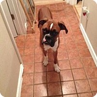 Adopt A Pet :: Root Beer - Springfield, MO