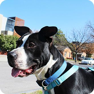 Pit Bull Terrier Mix Dog for adoption in Dallas, Texas - Bradley