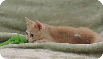 Domestic Shorthair Kitten for adoption in Plano, Texas - MIERA - LOVING LITTLE GIRL