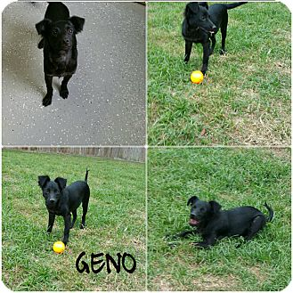 Chihuahua/Boston Terrier Mix Puppy for adoption in Cranford, New Jersey - Geno