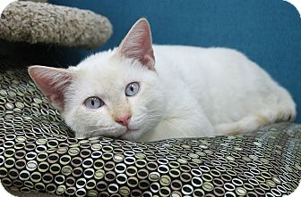 Siamese Cat for adoption in Benbrook, Texas - Peter